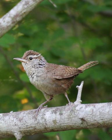 Sinaloa Wren Photo by Rene Valdes