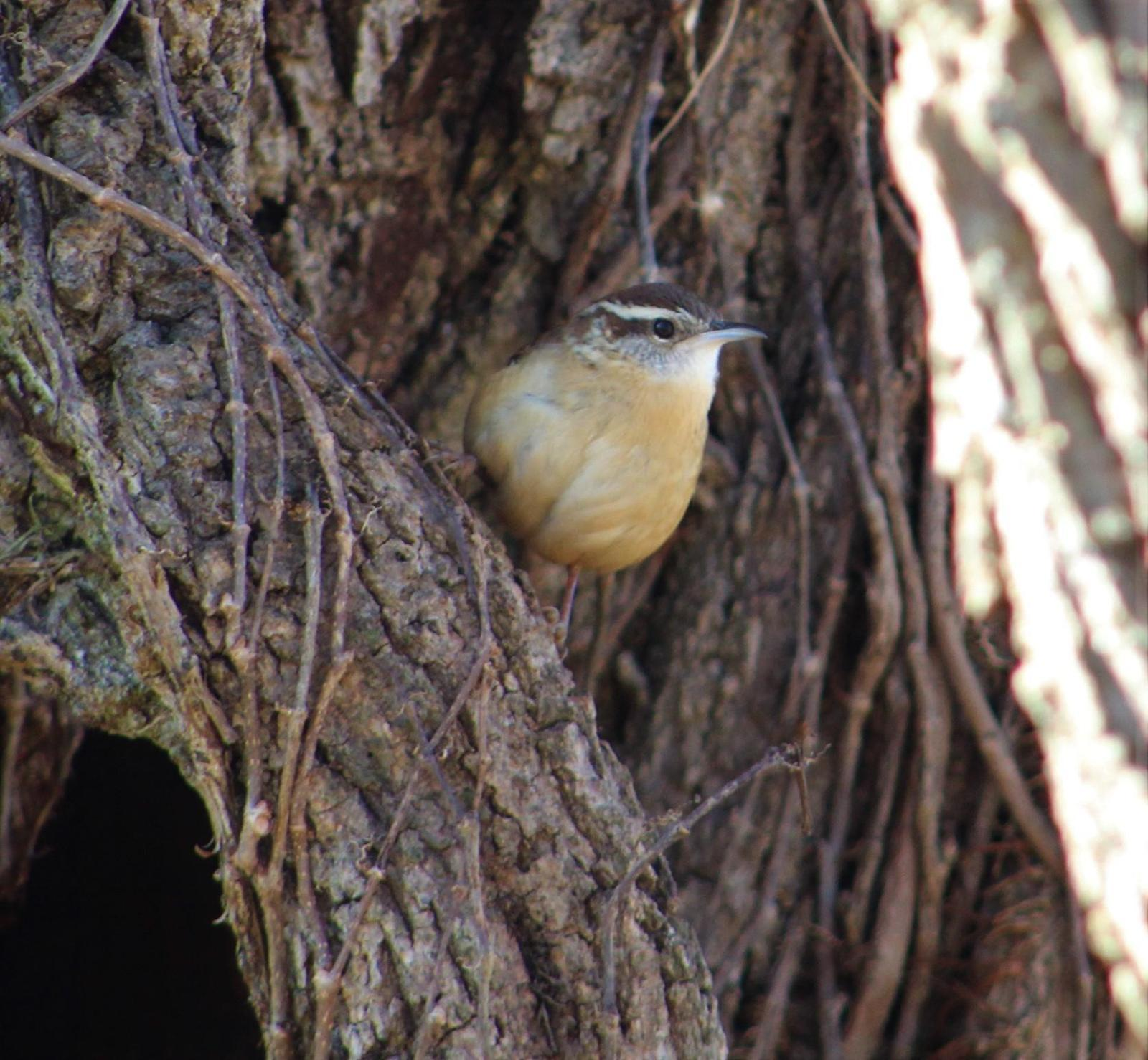 Carolina Wren Photo by Tony Heindel
