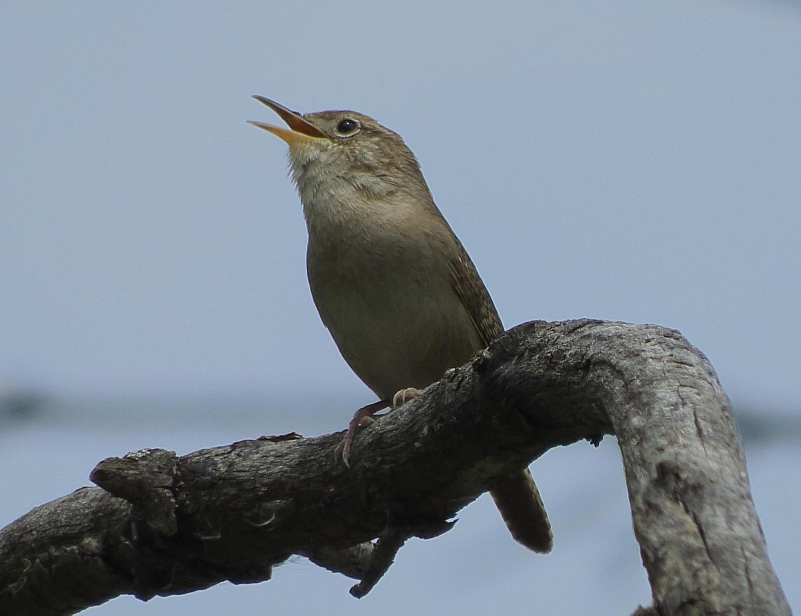 House Wren Photo by Kent Jensen