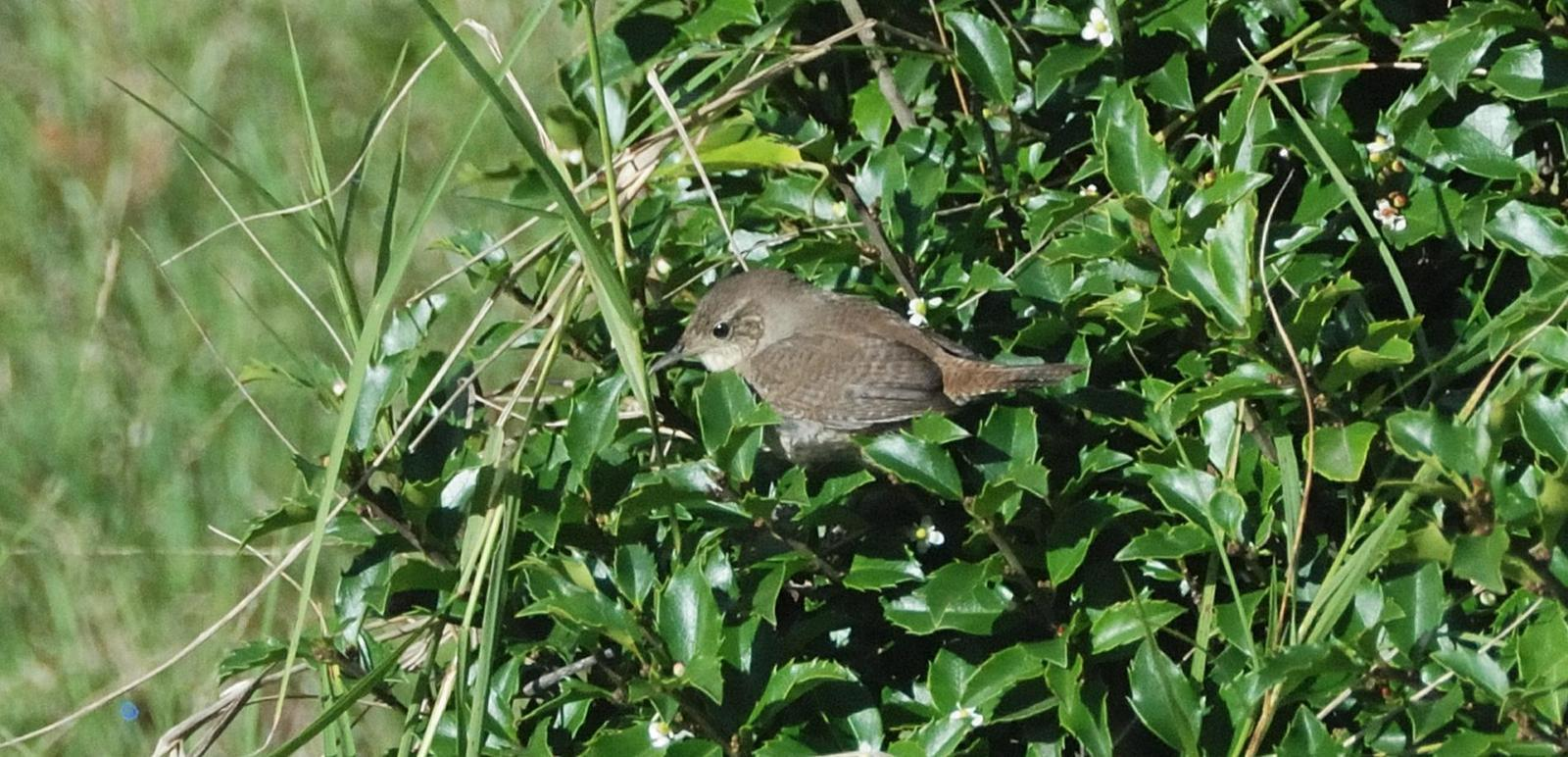 House Wren (Northern) Photo by RM Beck