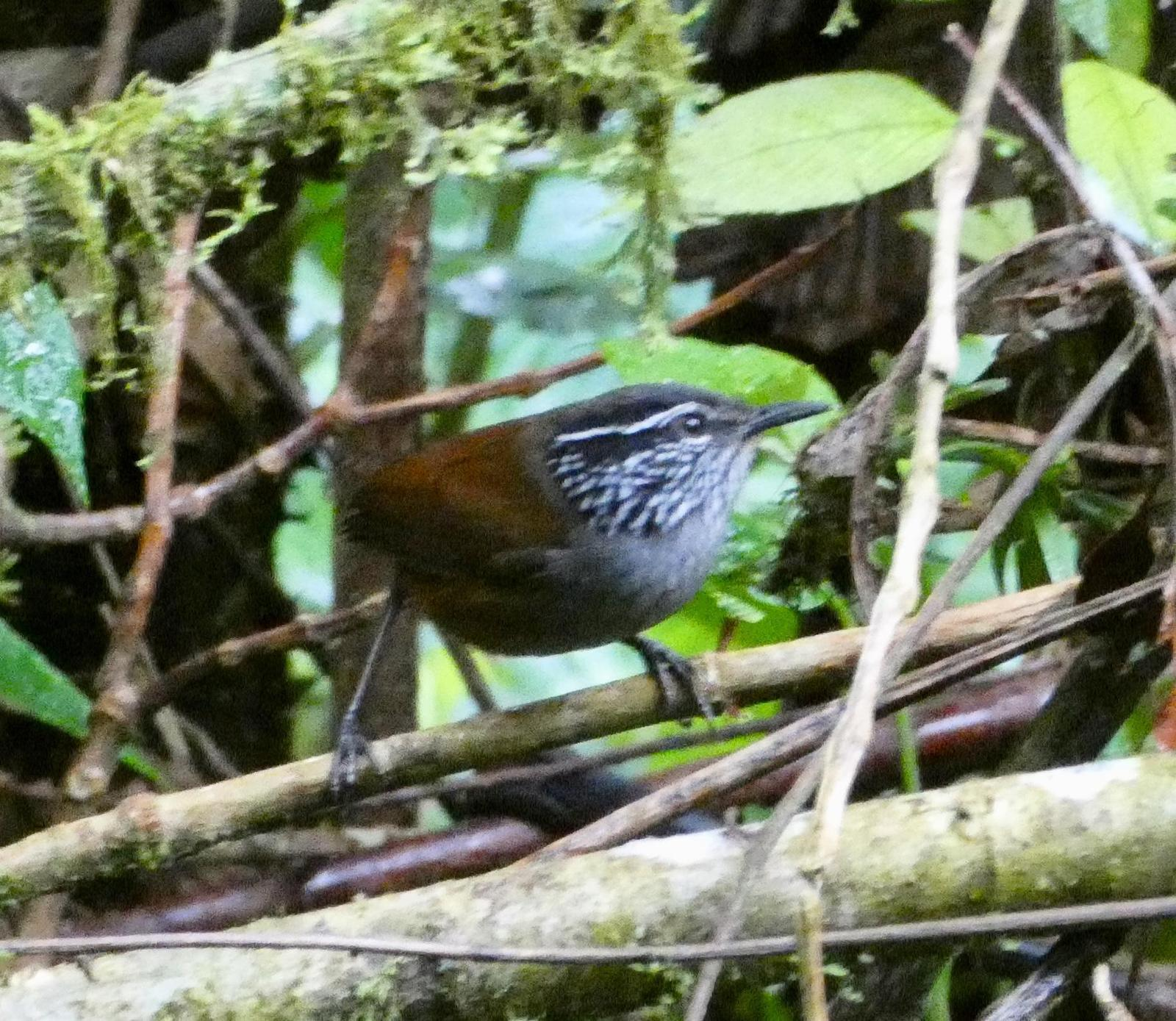 Gray-breasted Wood-Wren Photo by Phil Ryan