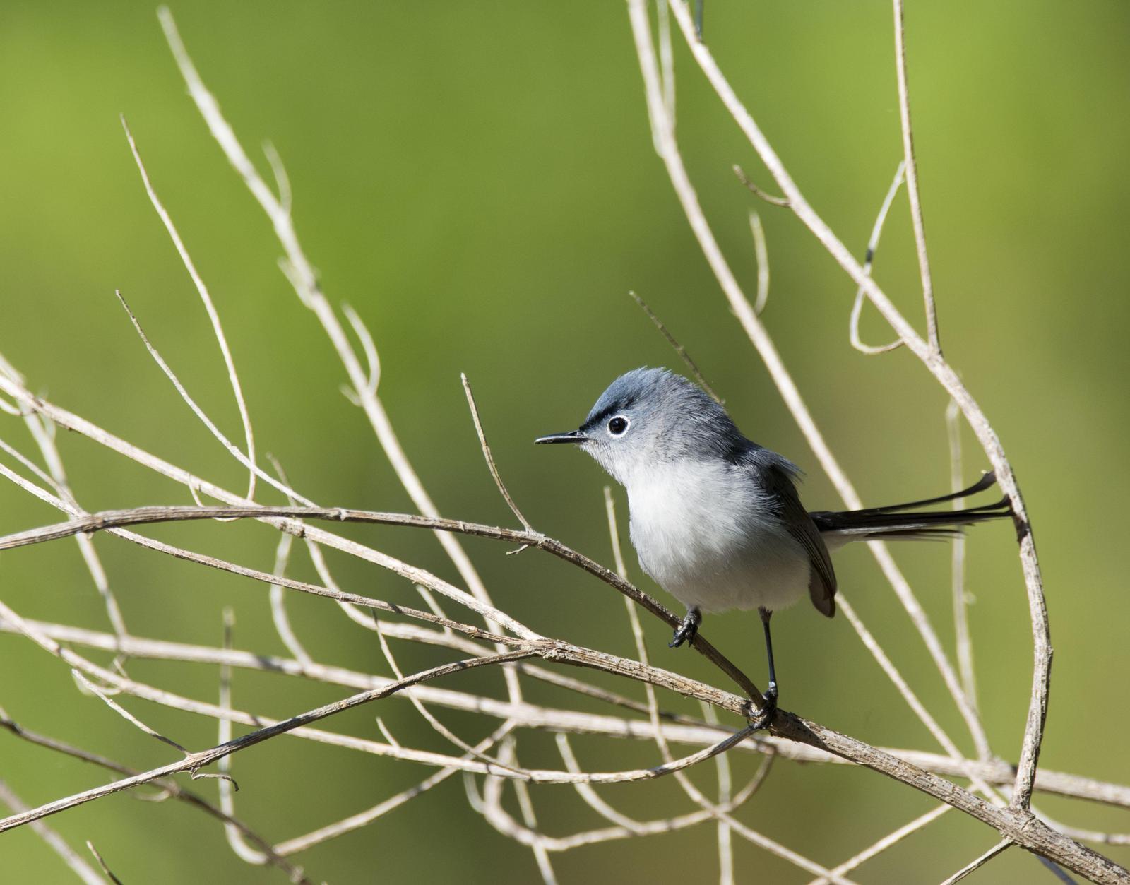 Blue-gray Gnatcatcher Photo by Jacob Zadik