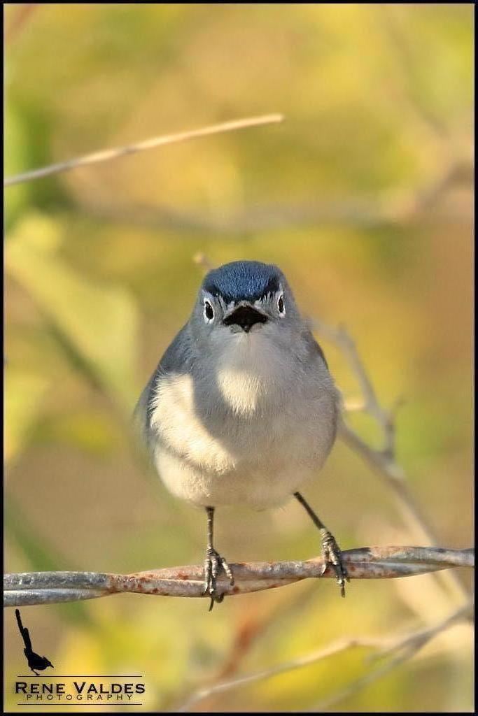 Blue-gray Gnatcatcher Photo by Rene Valdes