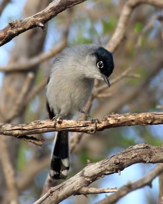 Black-tailed Gnatcatcher Photo by Rene Valdes