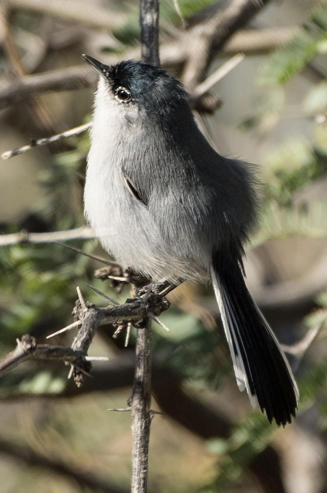 Black-tailed Gnatcatcher Photo by Phil Kahler
