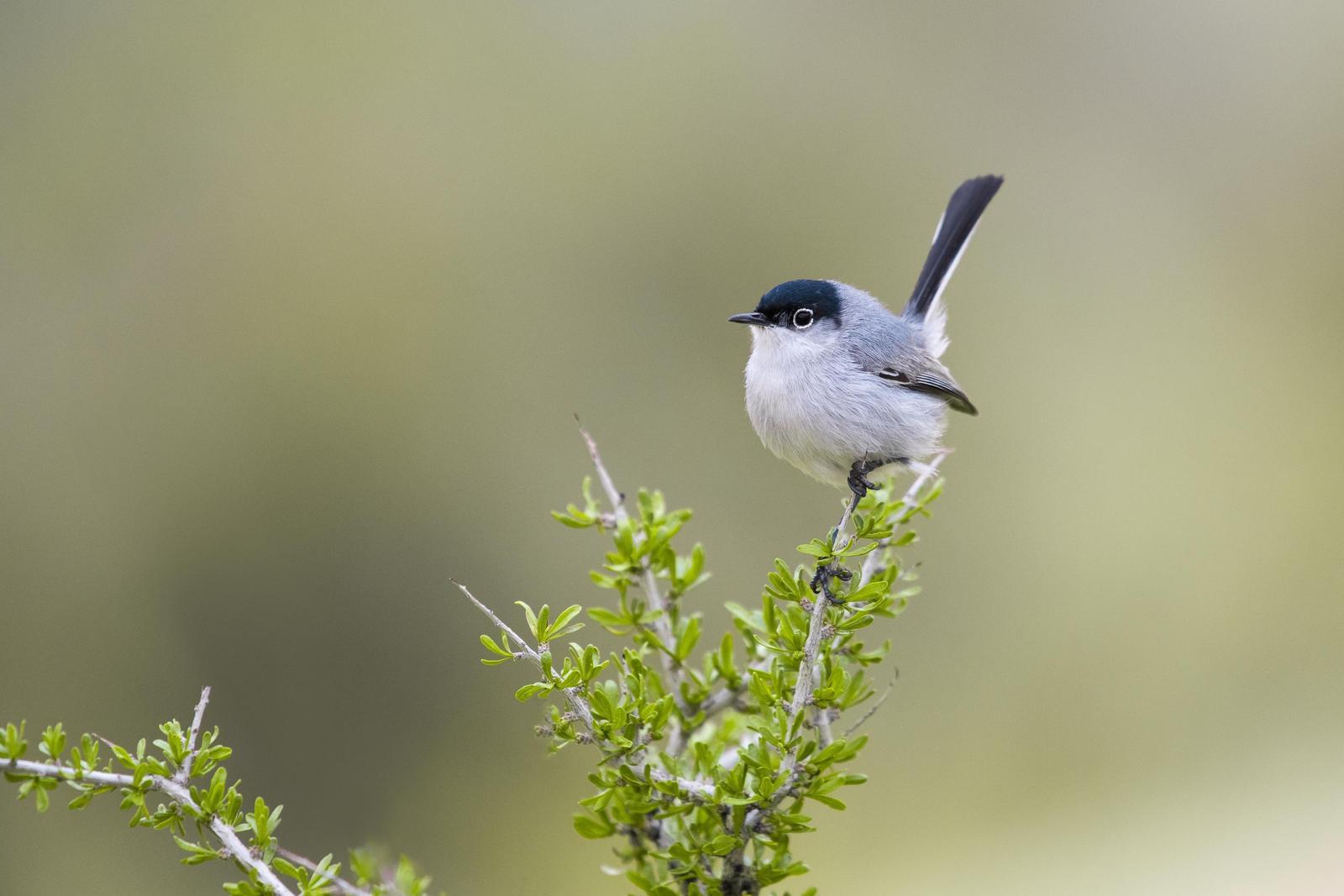 Black-tailed Gnatcatcher Photo by Adam Jackson