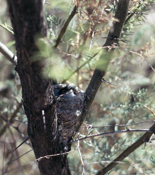 Black-tailed Gnatcatcher Photo by Dan Tallman
