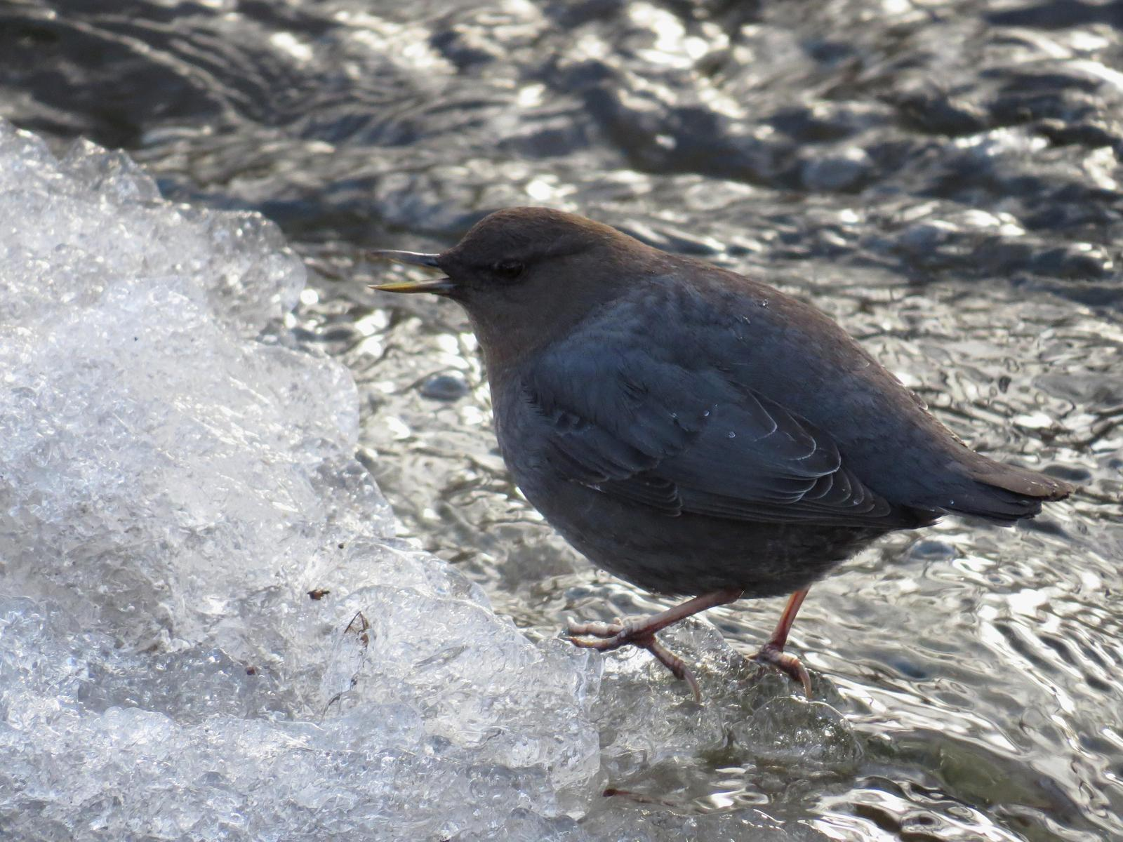 American Dipper Photo by George Mayfield