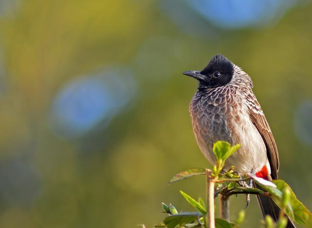 Red-vented Bulbul Photo by Mihir Joshi