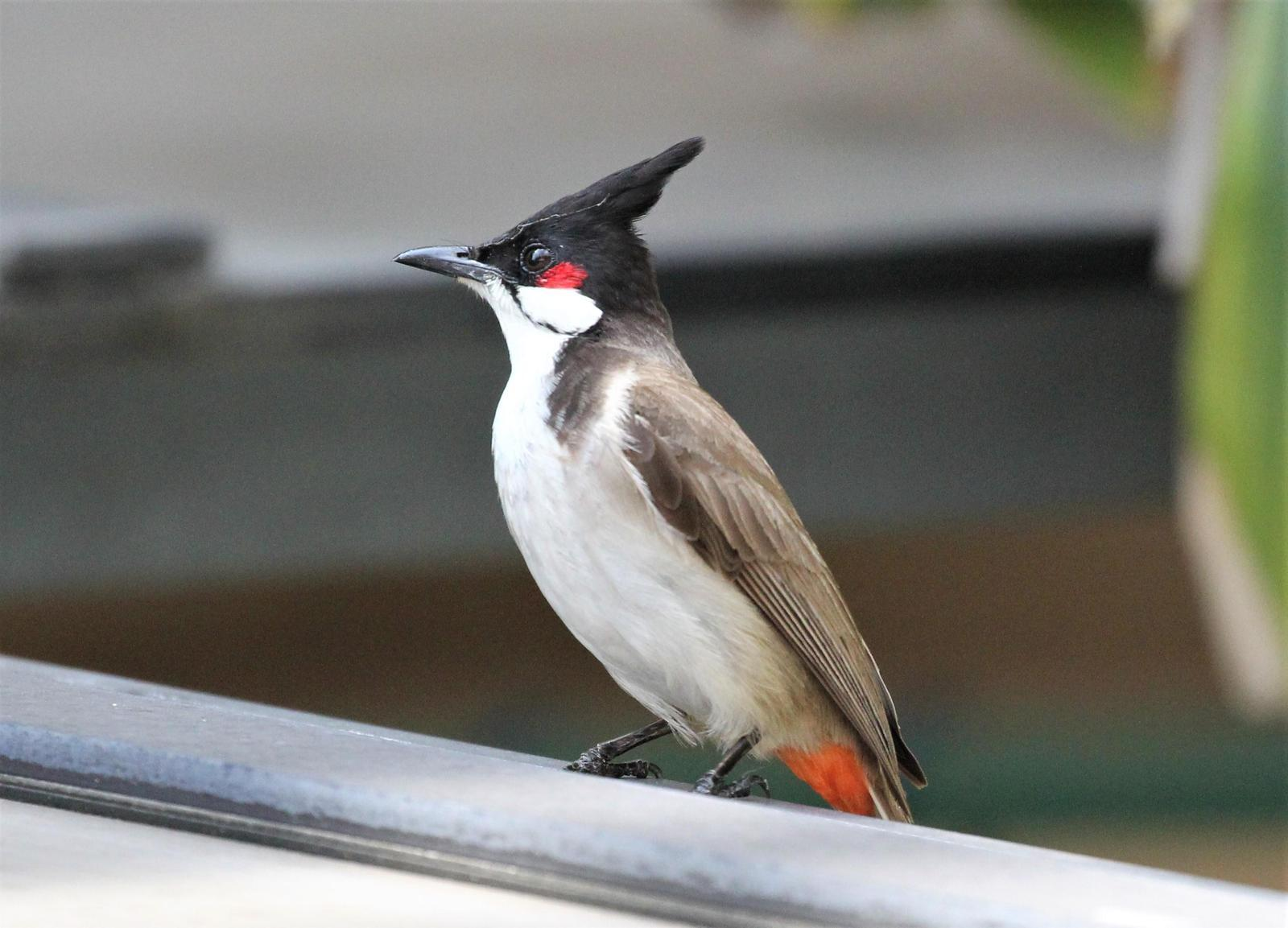 Red-whiskered Bulbul Photo by Steven Cheong