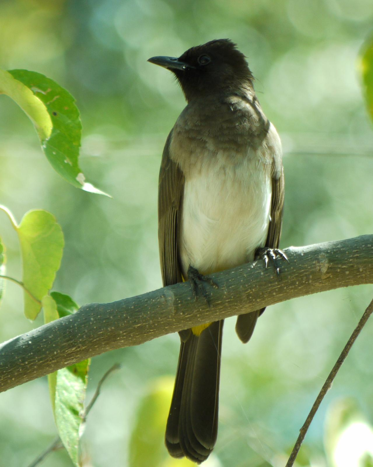 Common Bulbul Photo by Peter Lowe