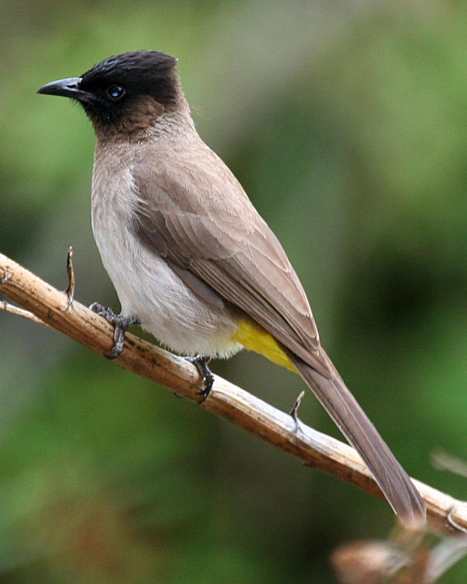 Common Bulbul Photo by Robert Lewis