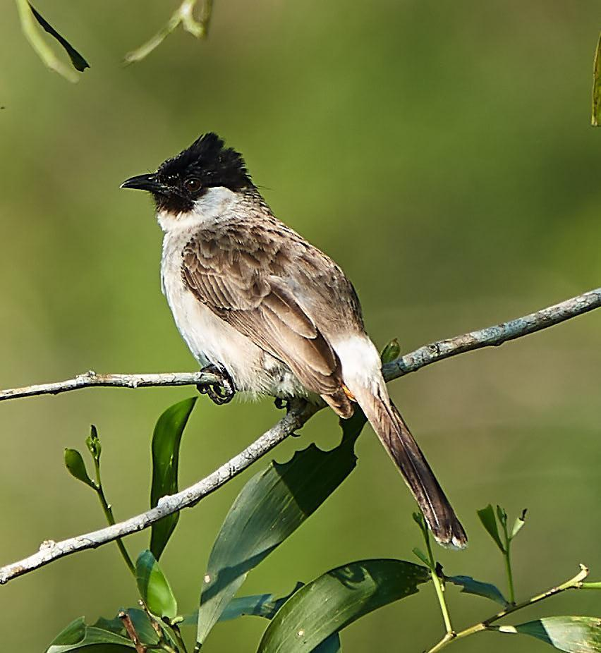 Sooty-headed Bulbul Photo by Steven Cheong