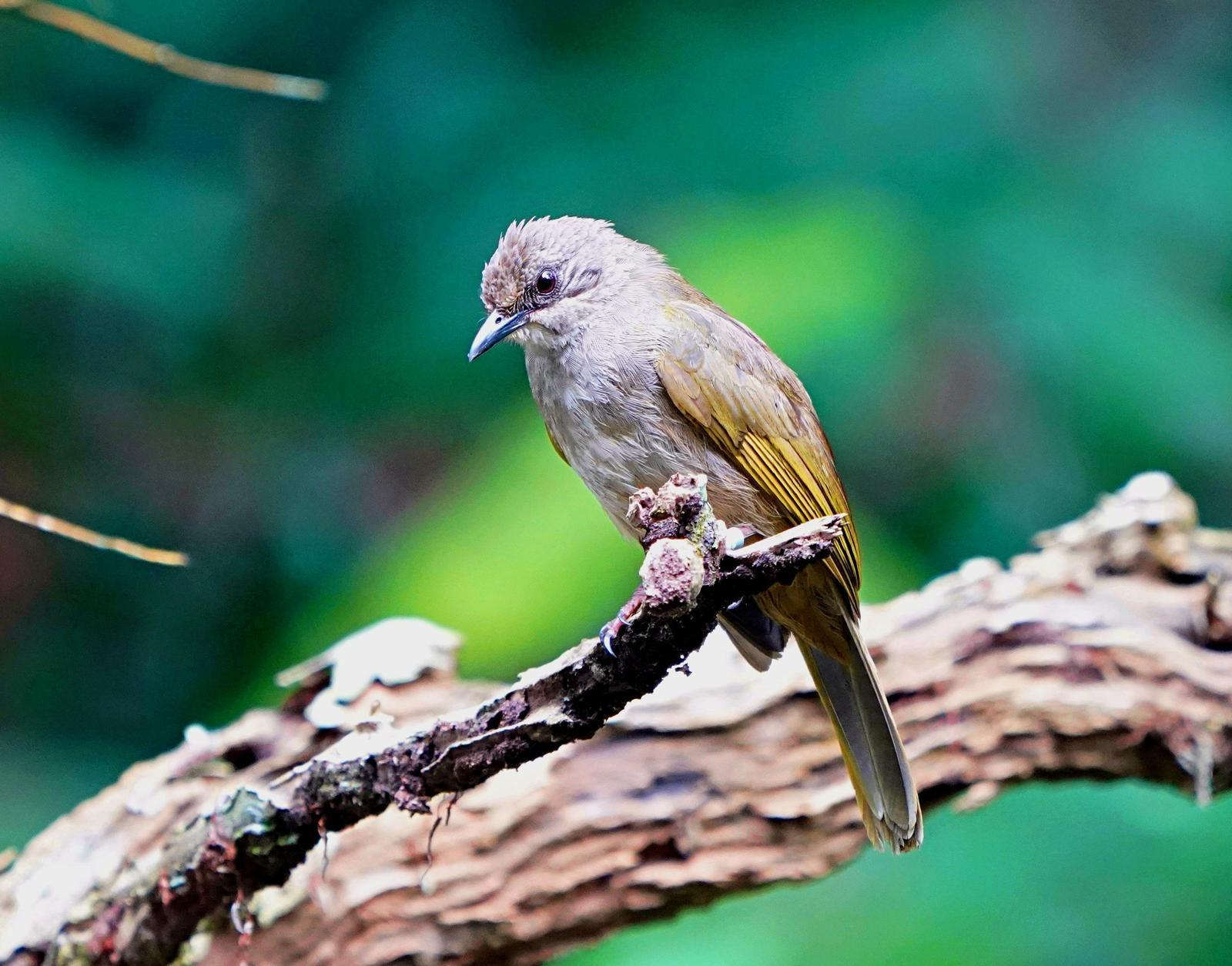Olive-winged Bulbul Photo by Steven Cheong