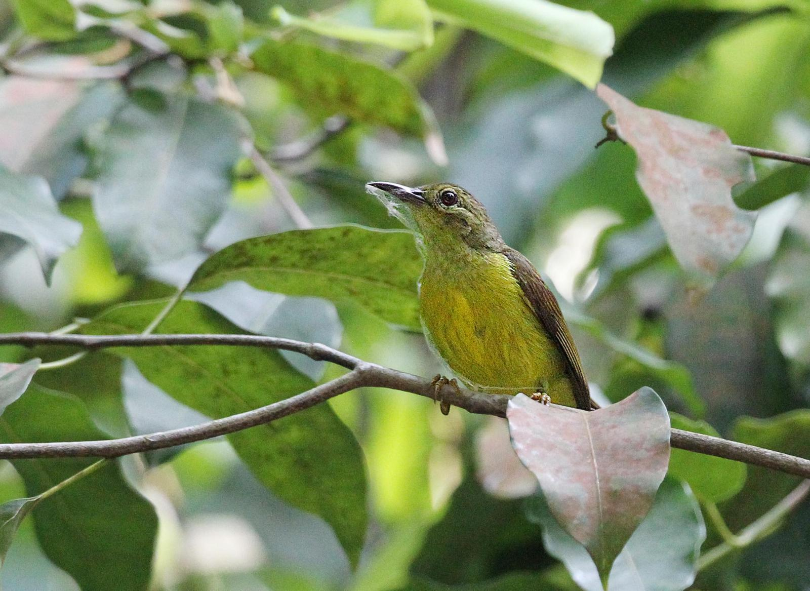 Olive-winged Bulbul Photo by Kenneth Cheong