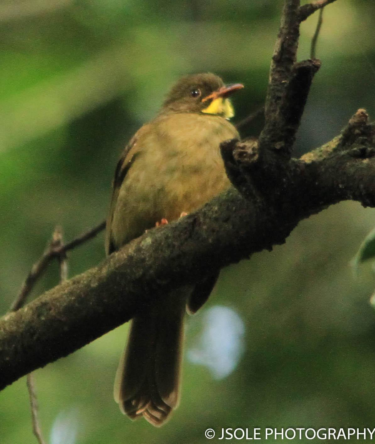 Yellow-whiskered Greenbul Photo by Jeffery Sole