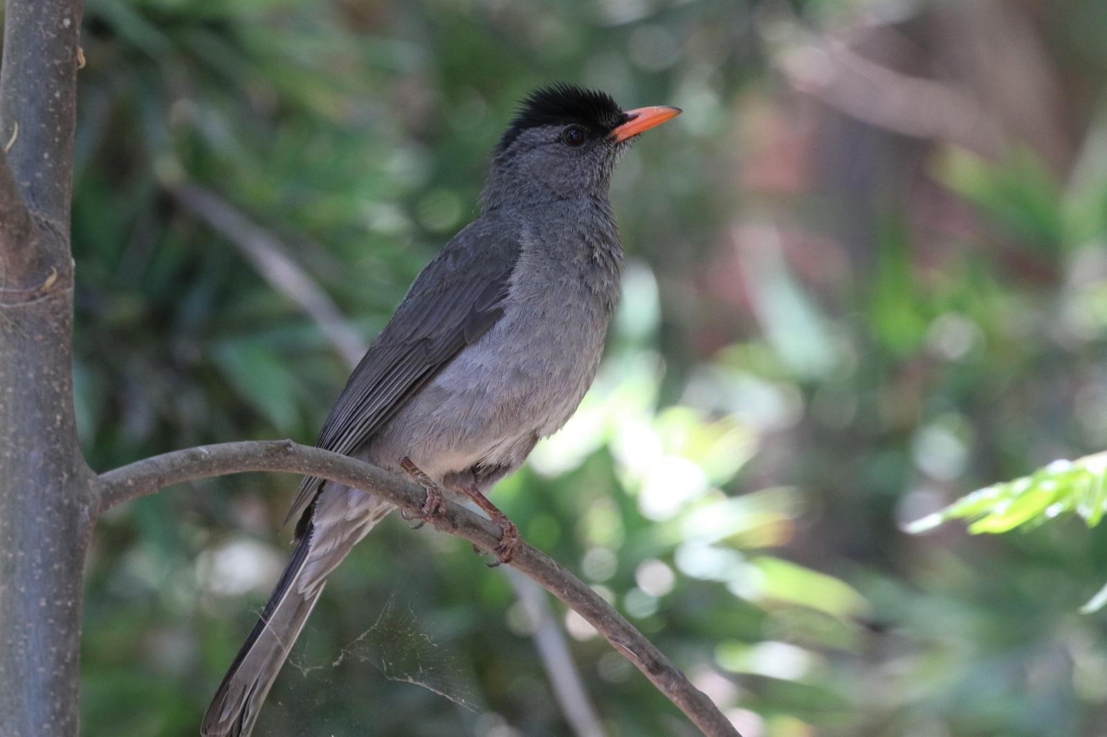 Madagascar Bulbul Photo by Richard Jeffers