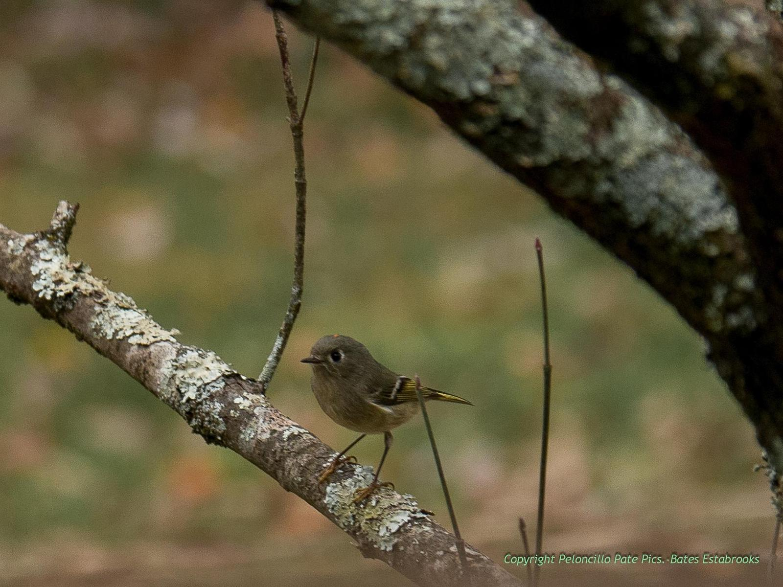 Ruby-crowned Kinglet Photo by Bates Estabrooks