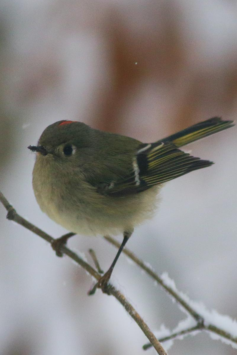 Ruby-crowned Kinglet Photo by Skip Russell