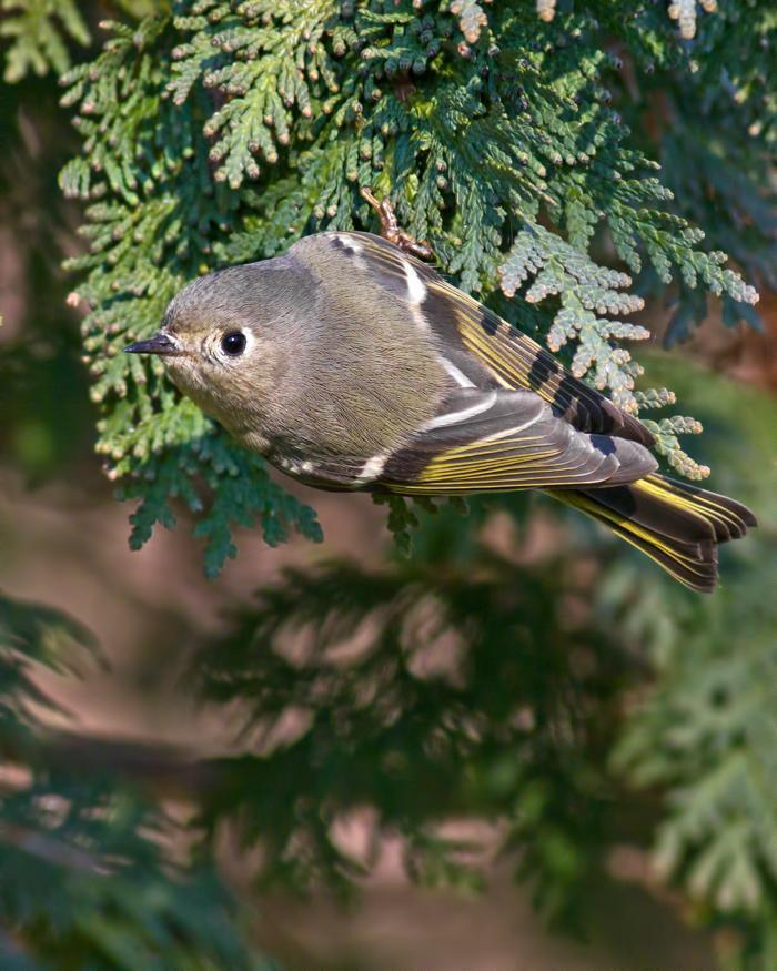 Ruby-crowned Kinglet Photo by Rob Dickerson