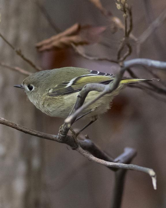 Ruby-crowned Kinglet Photo by Anthony Gliozzo