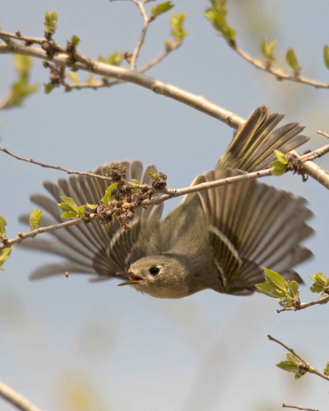 Ruby-crowned Kinglet Photo by Joshua Jones