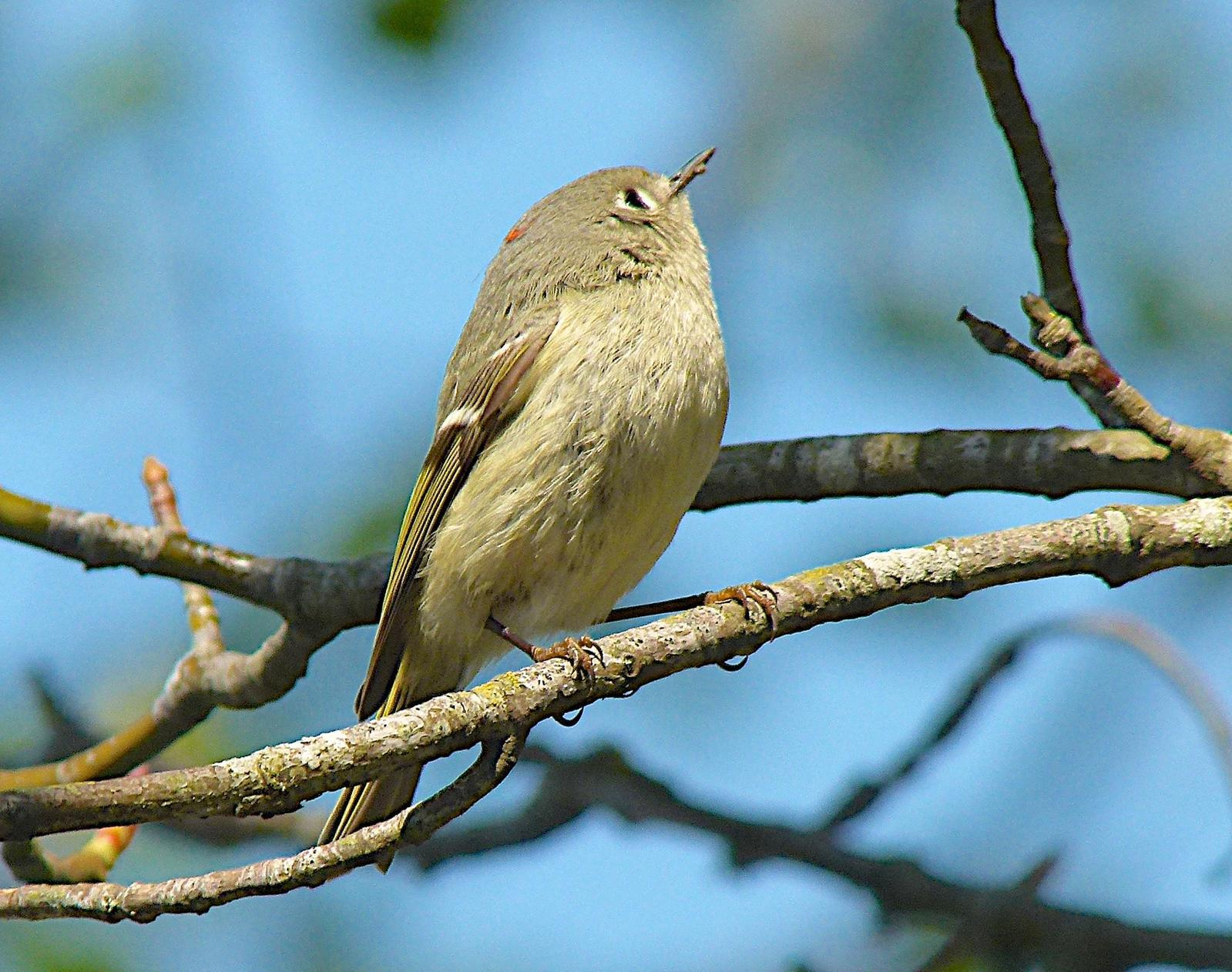 Ruby-crowned Kinglet Photo by Brian Avent