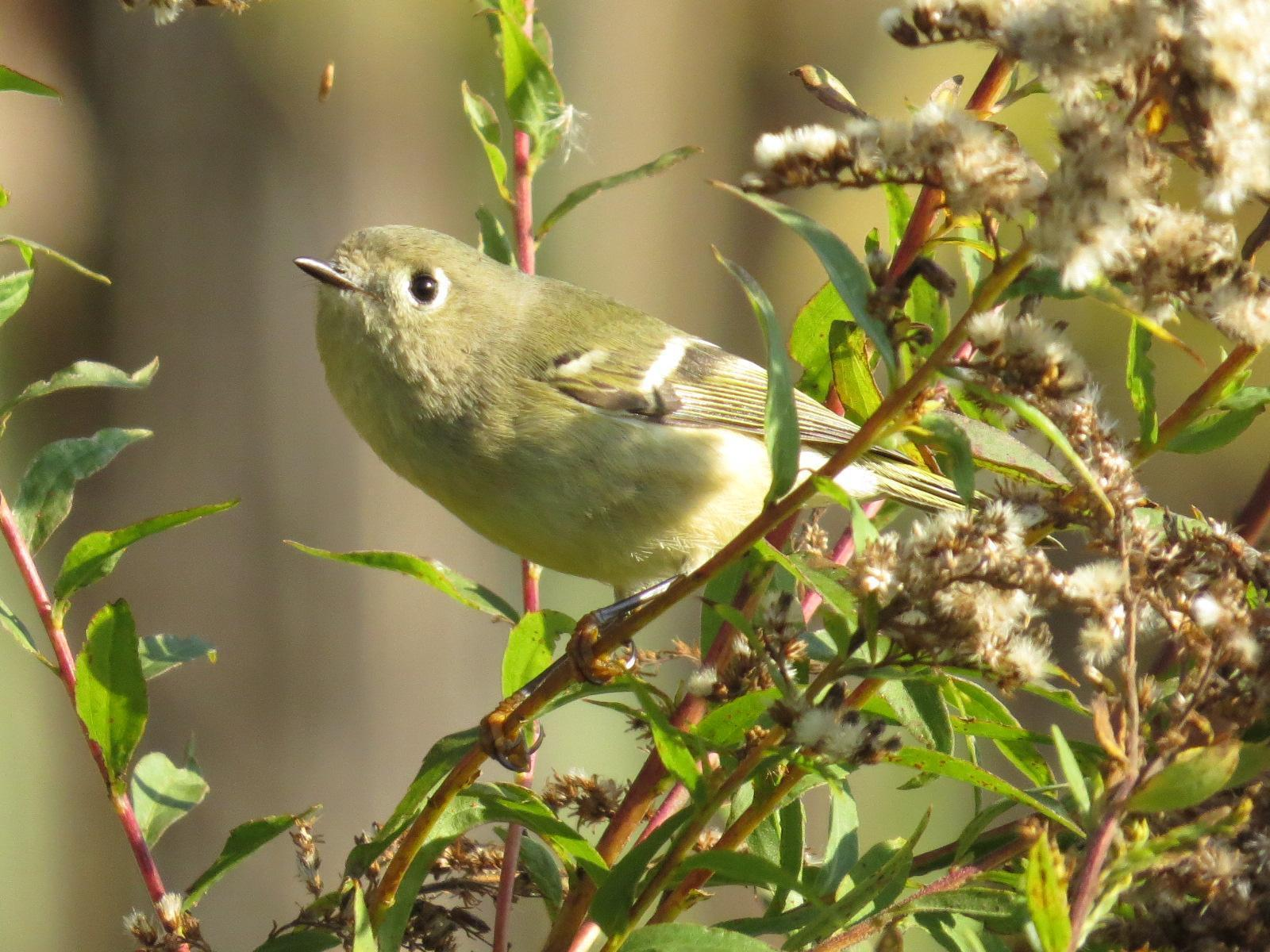 Ruby-crowned Kinglet Photo by Kathy Wooding