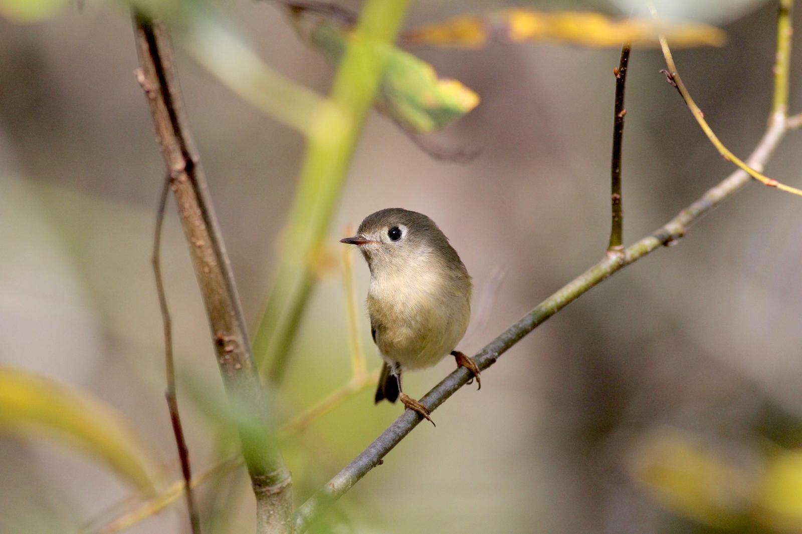 Ruby-crowned Kinglet Photo by Kathryn Keith