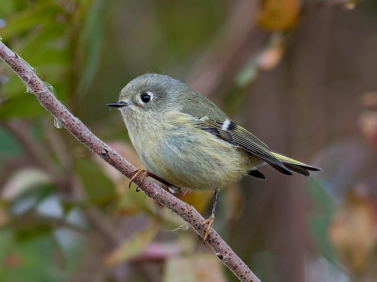 Ruby-crowned Kinglet Photo by Michael Moore