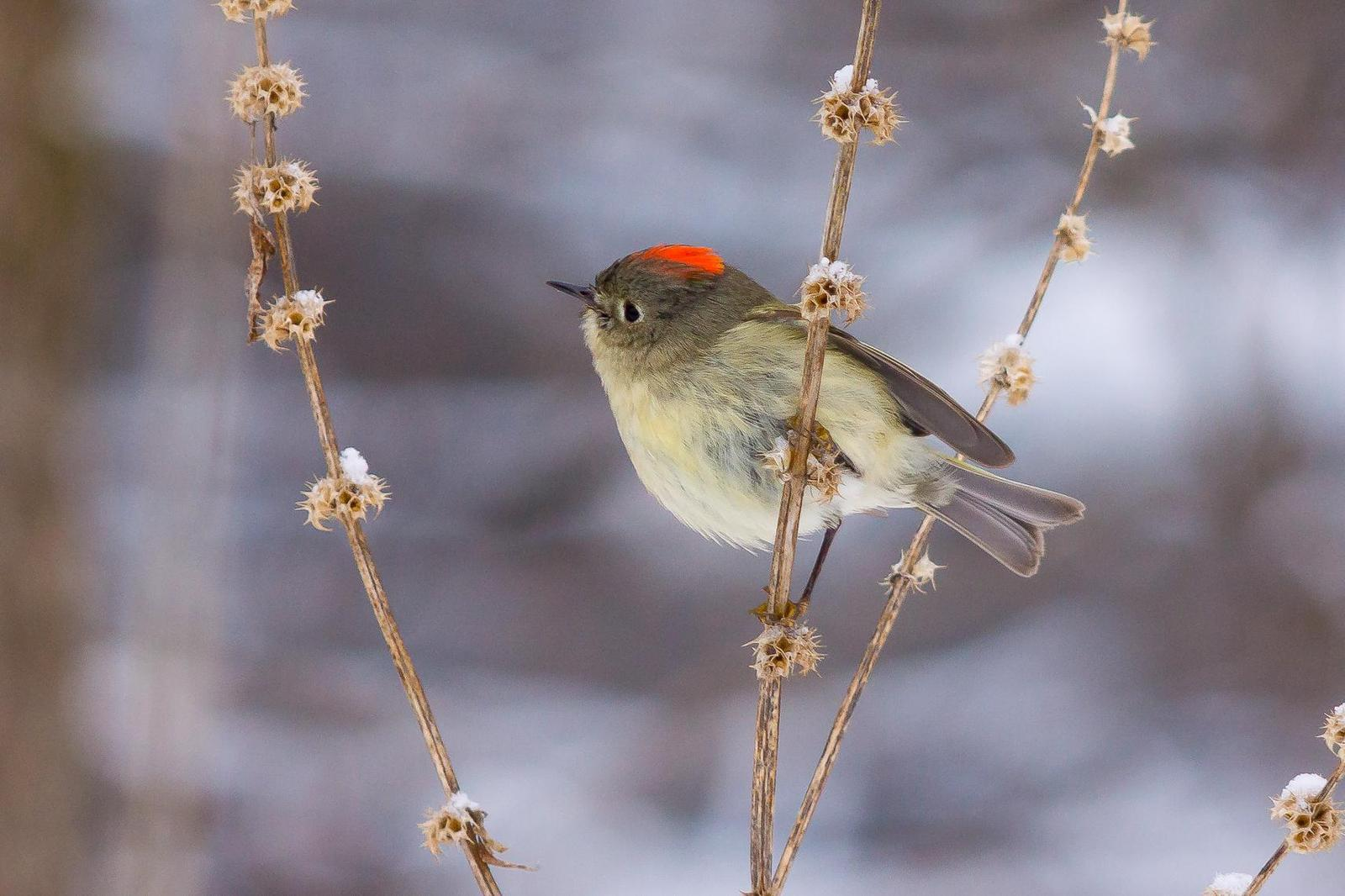 Ruby-crowned Kinglet Photo by Gerald Hoekstra