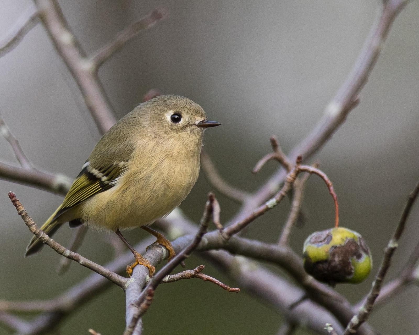 Ruby-crowned Kinglet Photo by J.B. Churchill