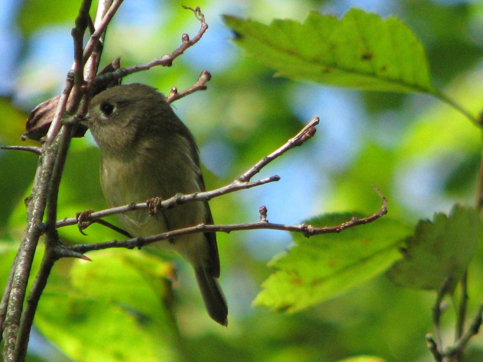 Ruby-crowned Kinglet Photo by Ted Goshulak