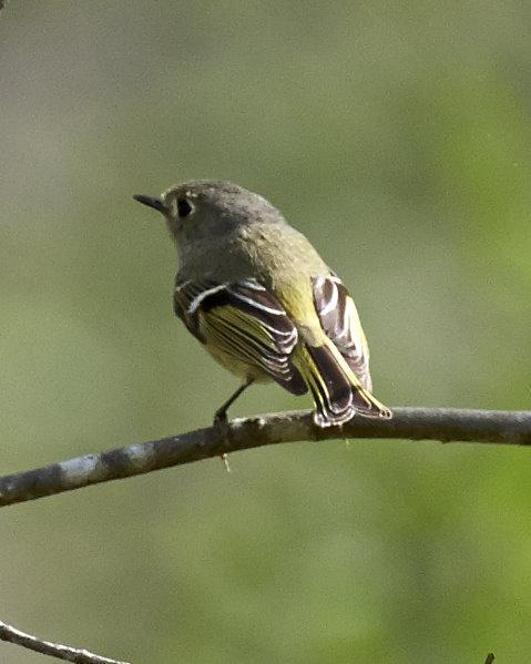 Ruby-crowned Kinglet Photo by Eric Eisenstadt
