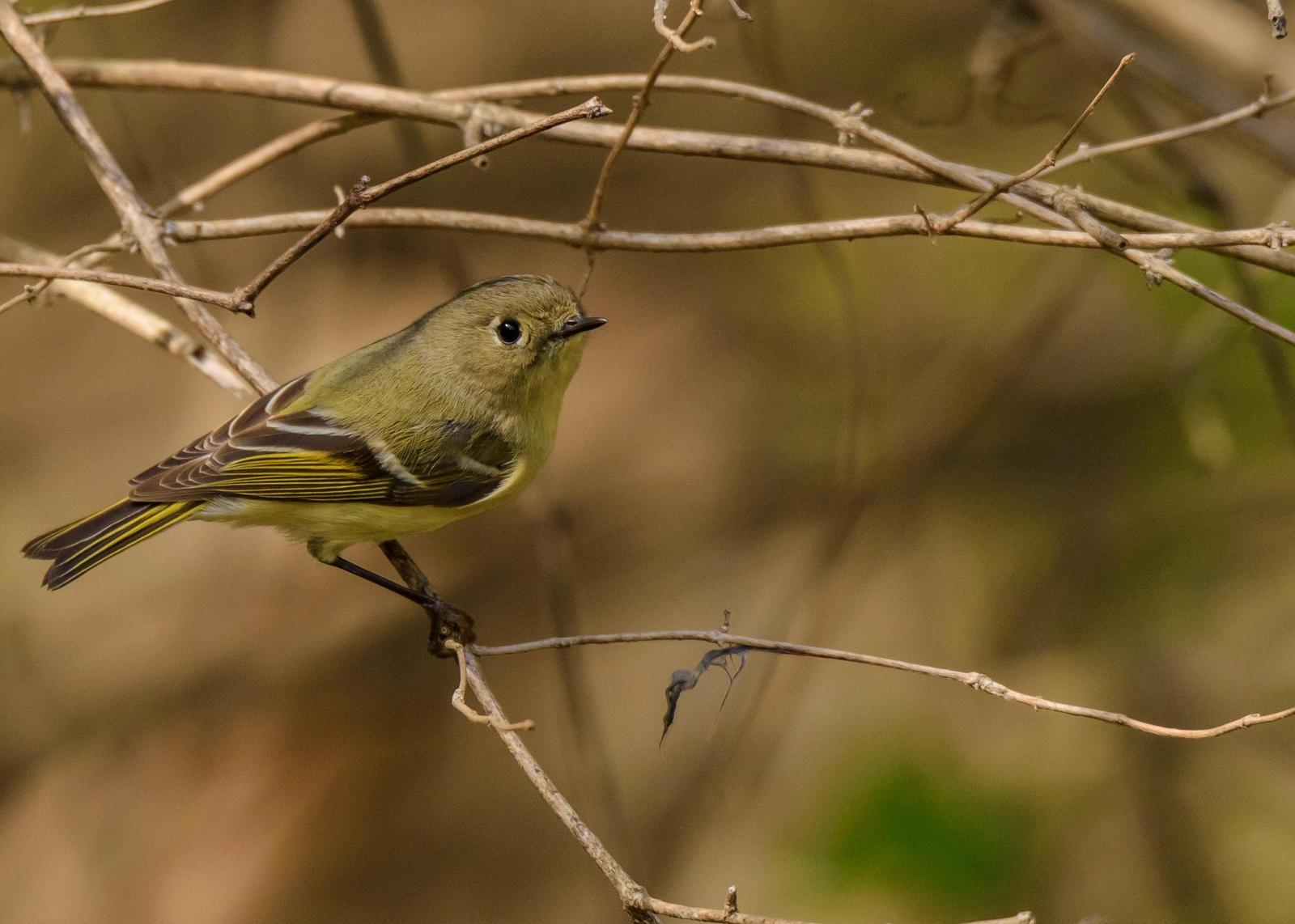 Ruby-crowned Kinglet Photo by Keshava Mysore