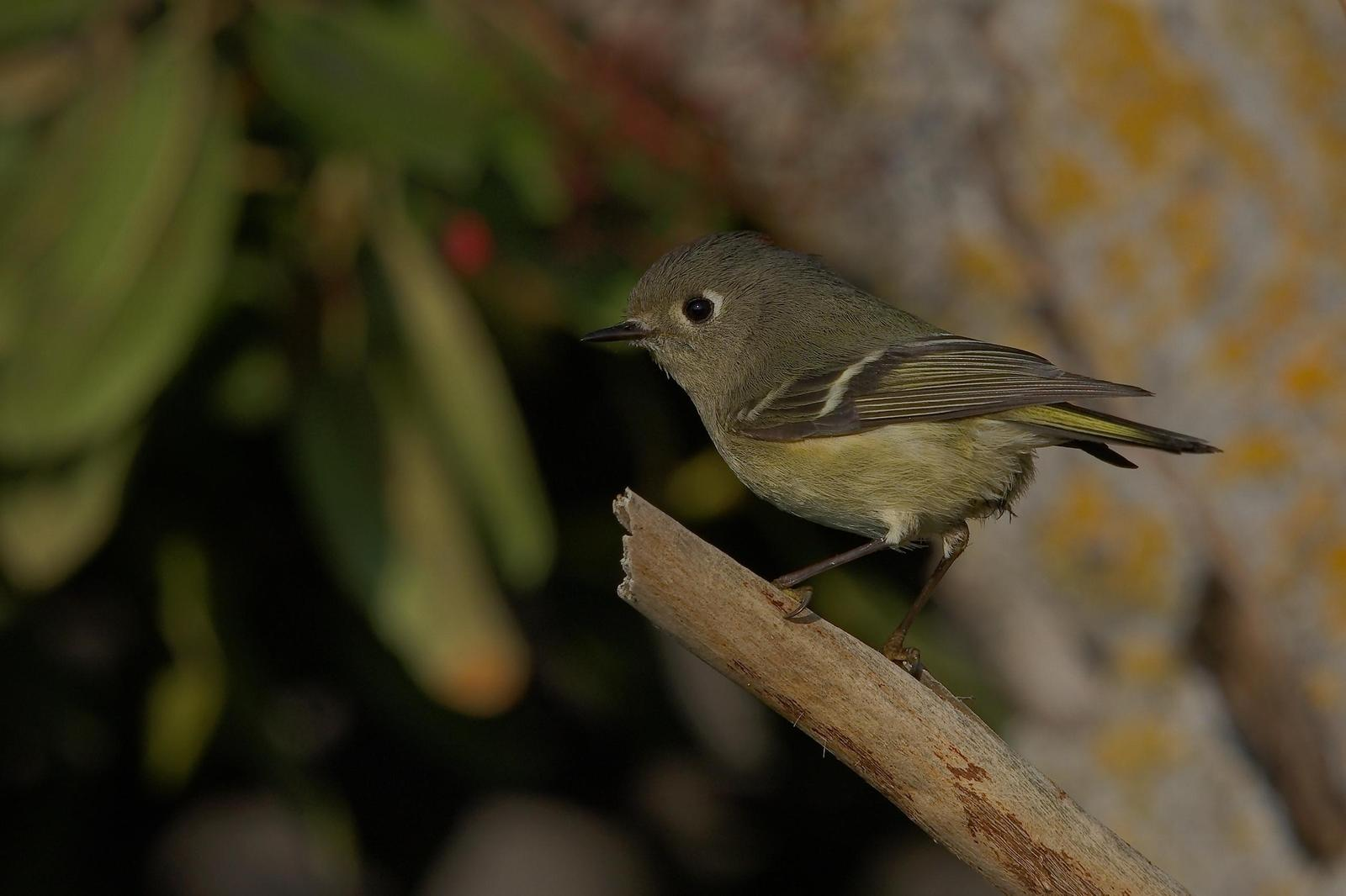 Ruby-crowned Kinglet Photo by Digibirdtrek CA