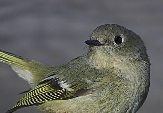 Ruby-crowned Kinglet Photo by Dan Tallman