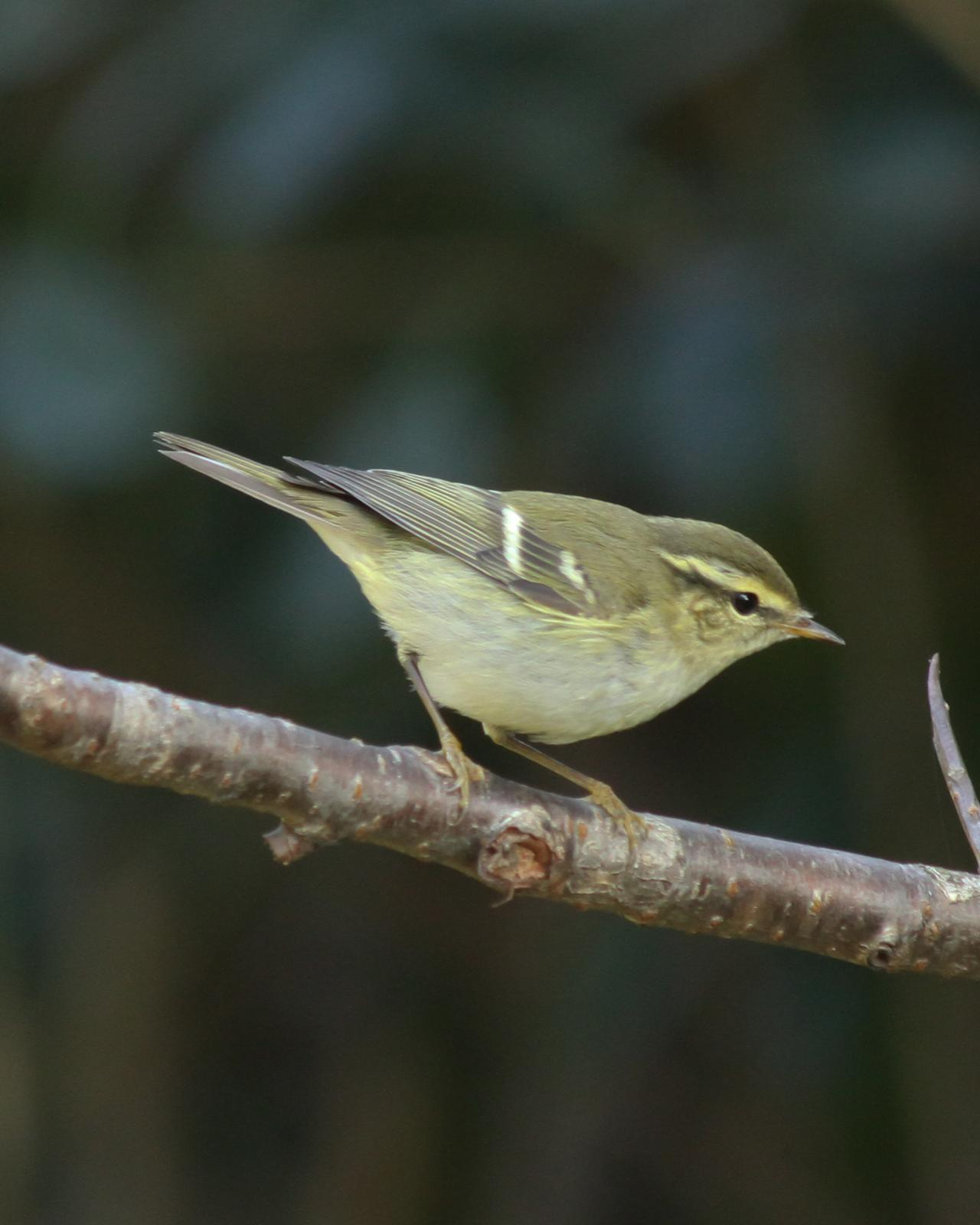 Yellow-browed Warbler Photo by Kasia  Ganderska Someya