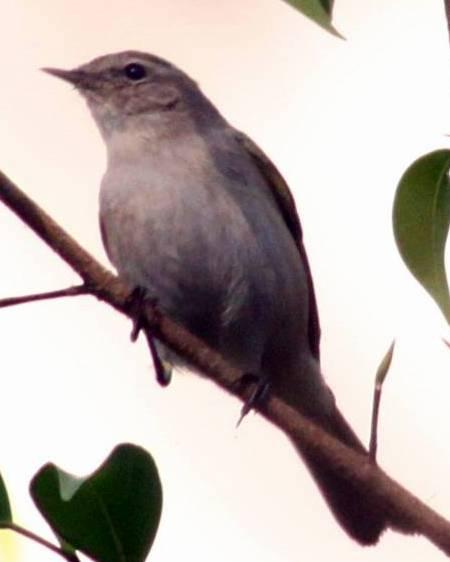 Sykes's Warbler Photo by Frank Gilliland