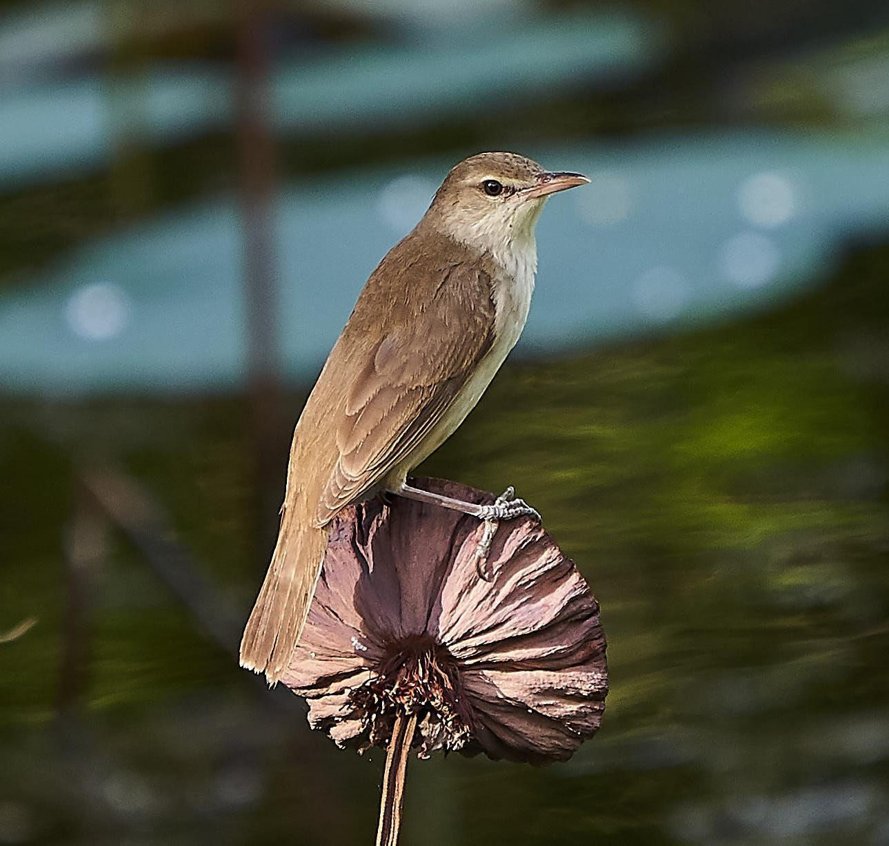Oriental Reed Warbler Photo by Steven Cheong