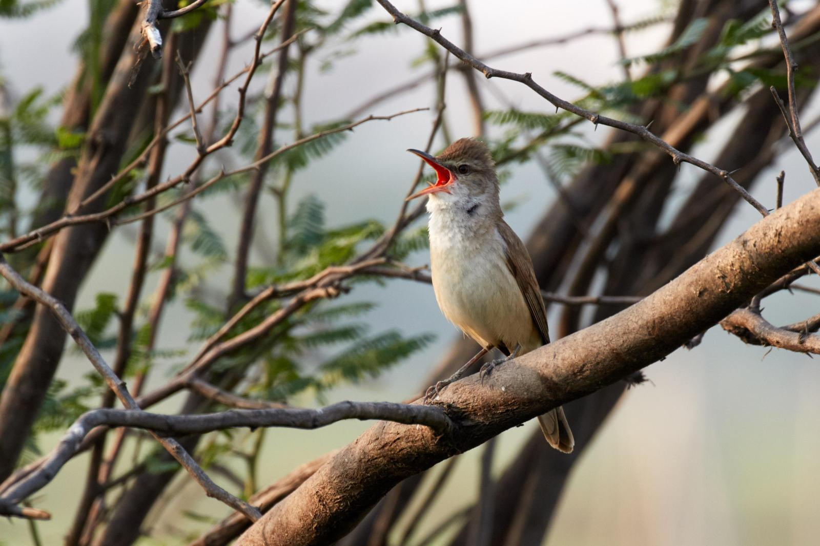 Clamorous Reed Warbler Photo by Simepreet Cheema