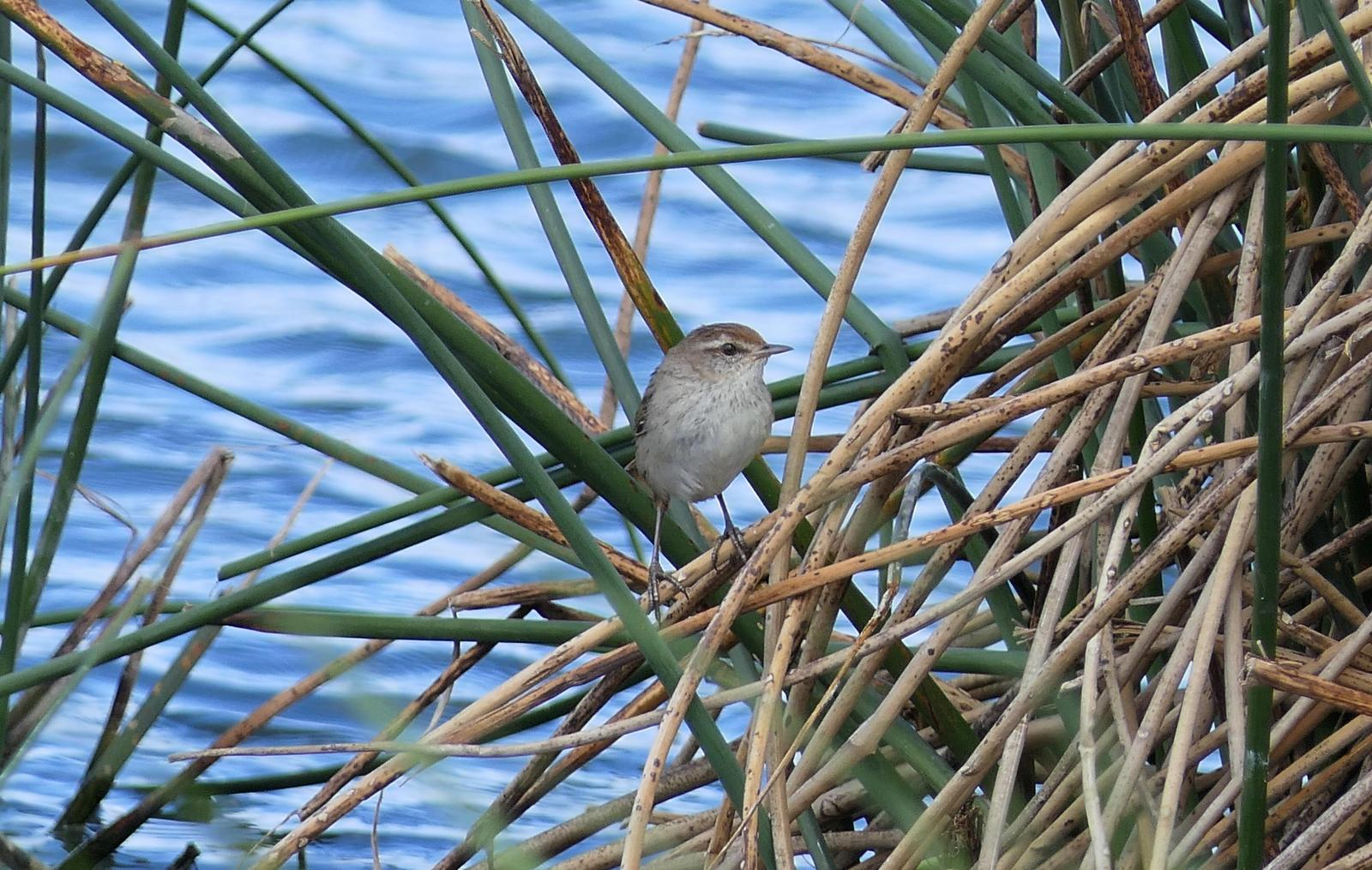 Little Grassbird Photo by Randy Siebert