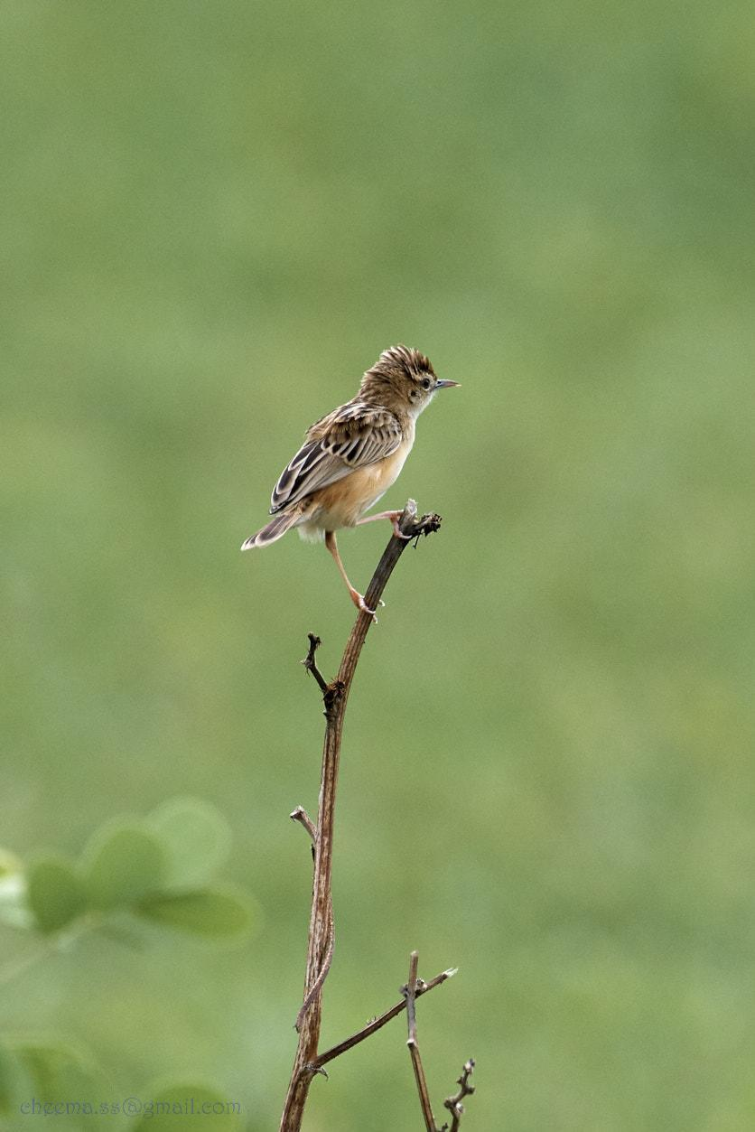 Zitting Cisticola Photo by Simepreet Cheema
