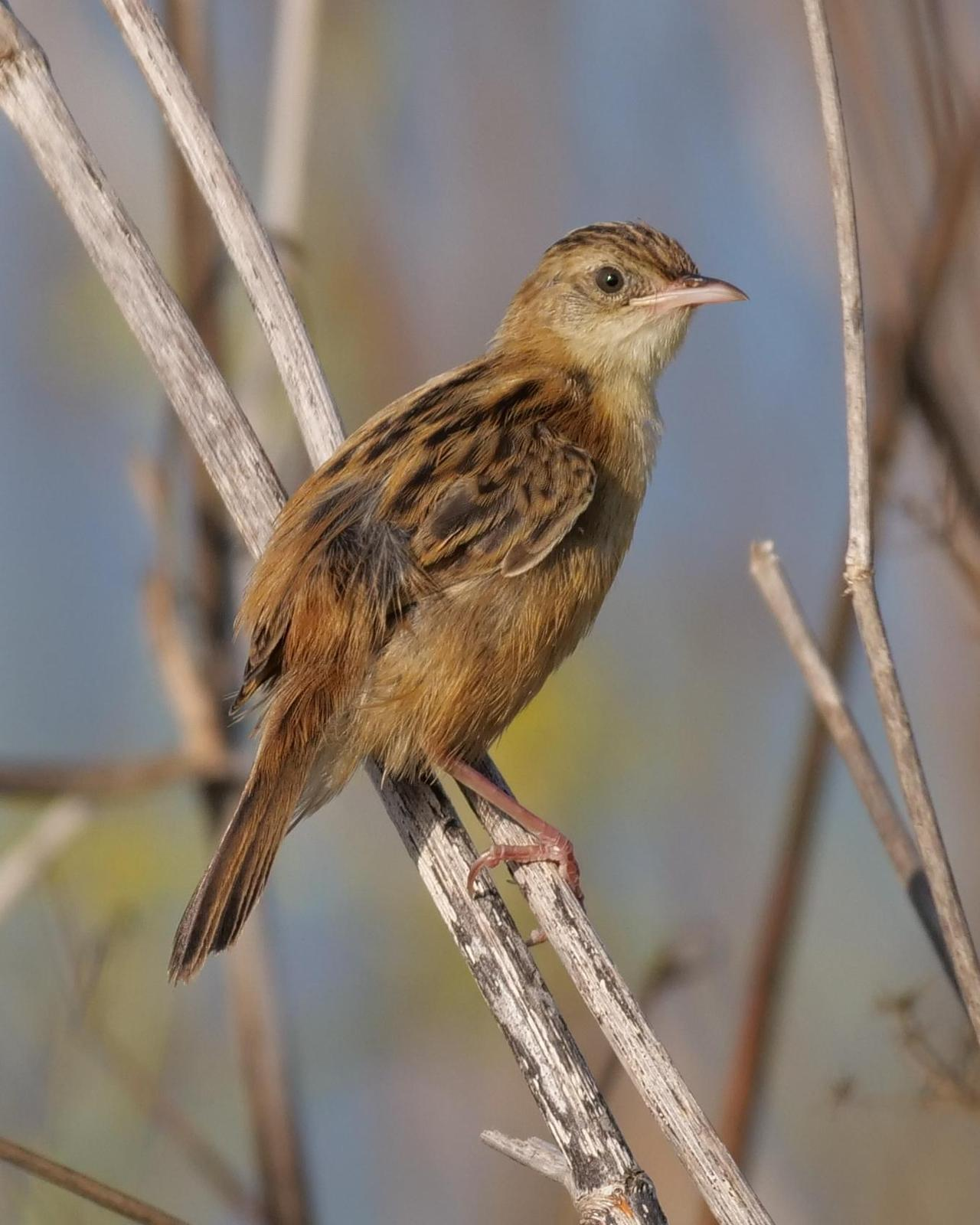 Zitting Cisticola Photo by Steve Percival