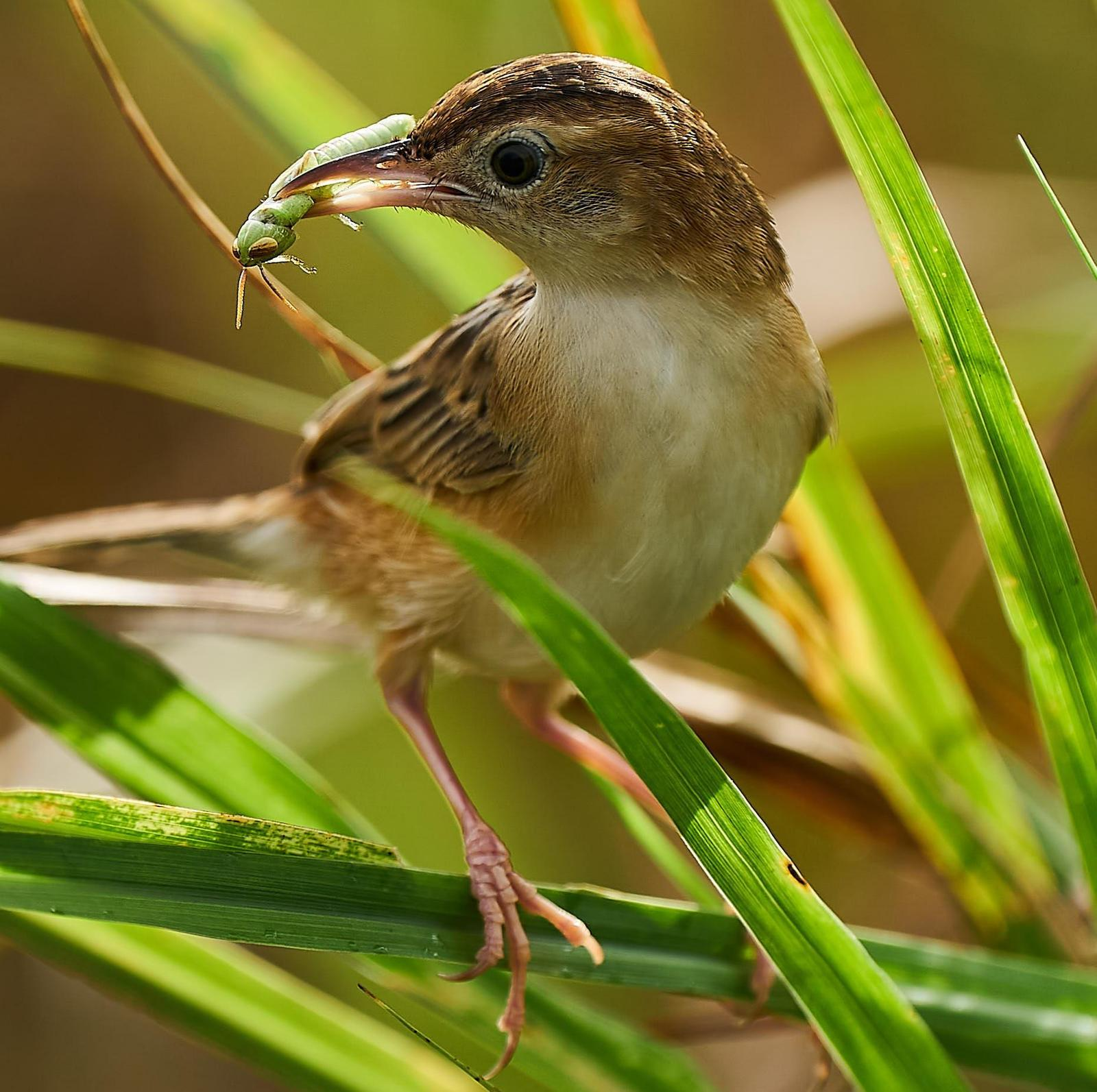Zitting Cisticola Photo by Steven Cheong