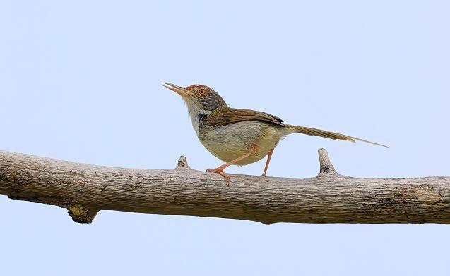 Common Tailorbird Photo by Kenneth Cheong
