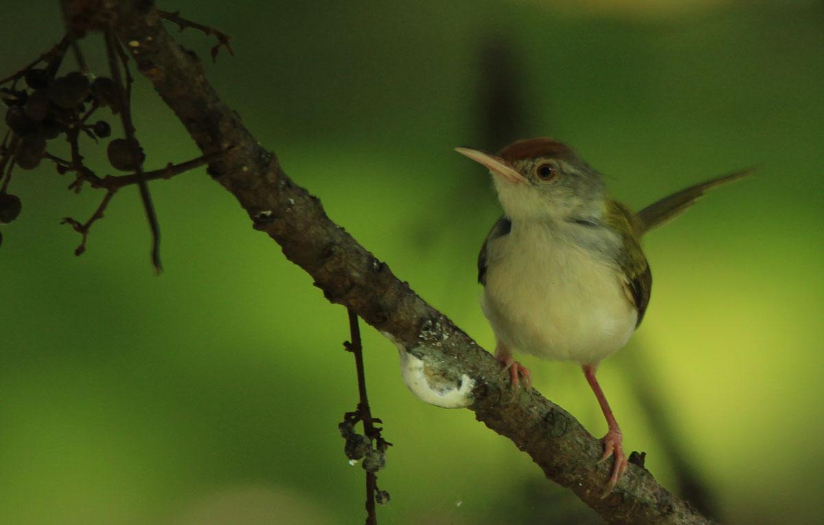 Common Tailorbird Photo by Jinu Thomas