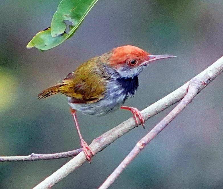 Dark-necked Tailorbird Photo by Steven Cheong