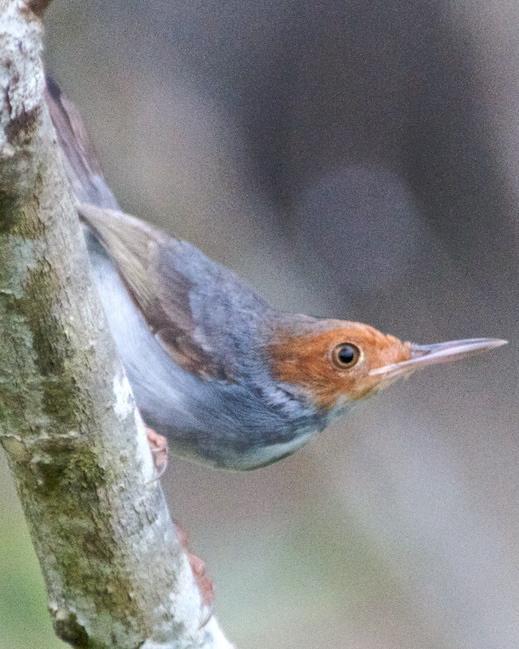 Ashy Tailorbird Photo by John Mittermeier