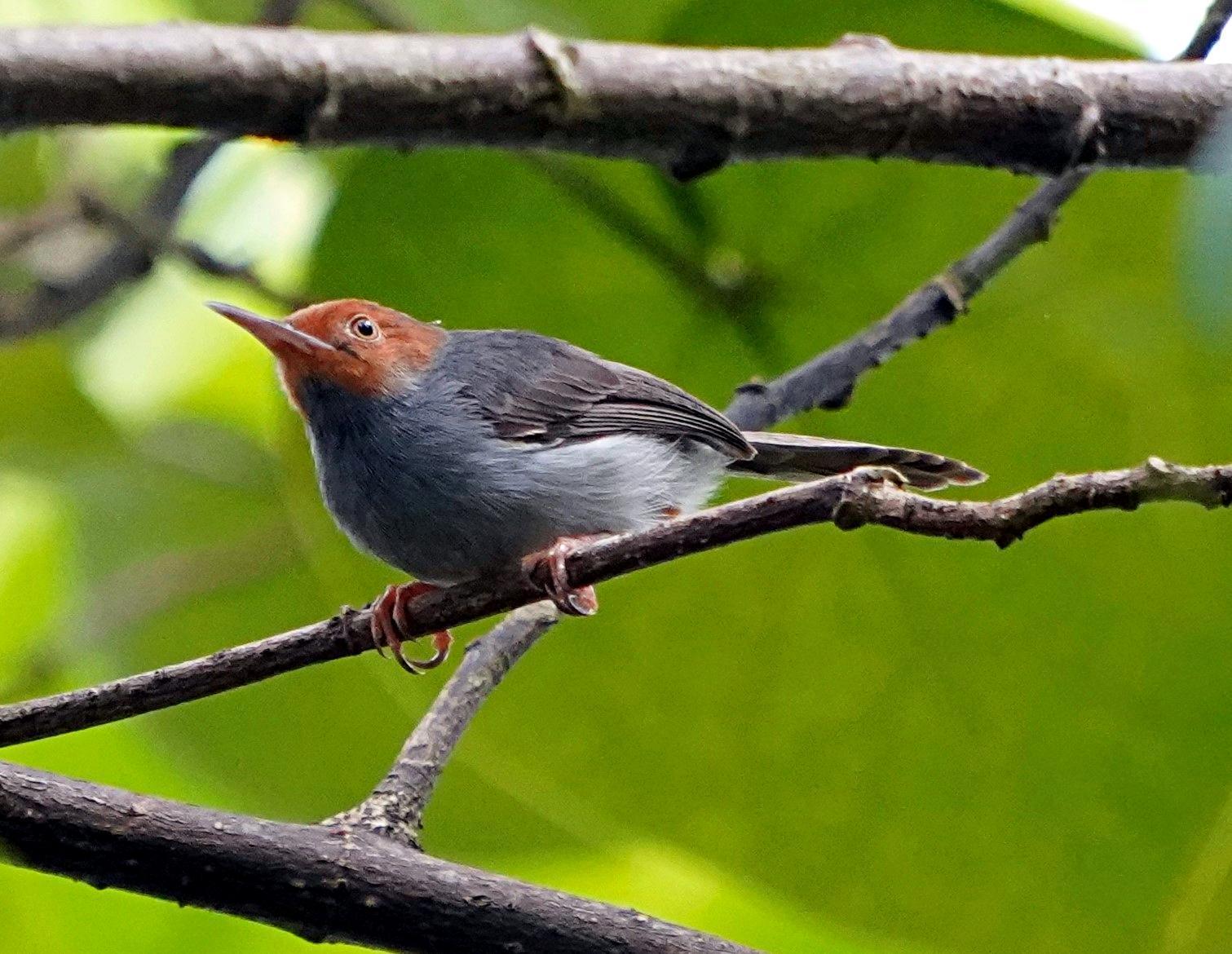 Ashy Tailorbird Photo by Steven Cheong